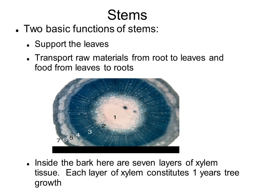 Stems Two basic functions of stems: Support the leaves