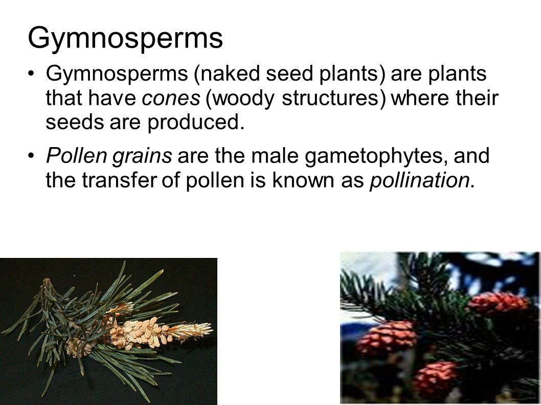 Gymnosperms Gymnosperms (naked seed plants) are plants that have cones (woody structures) where their seeds are produced.