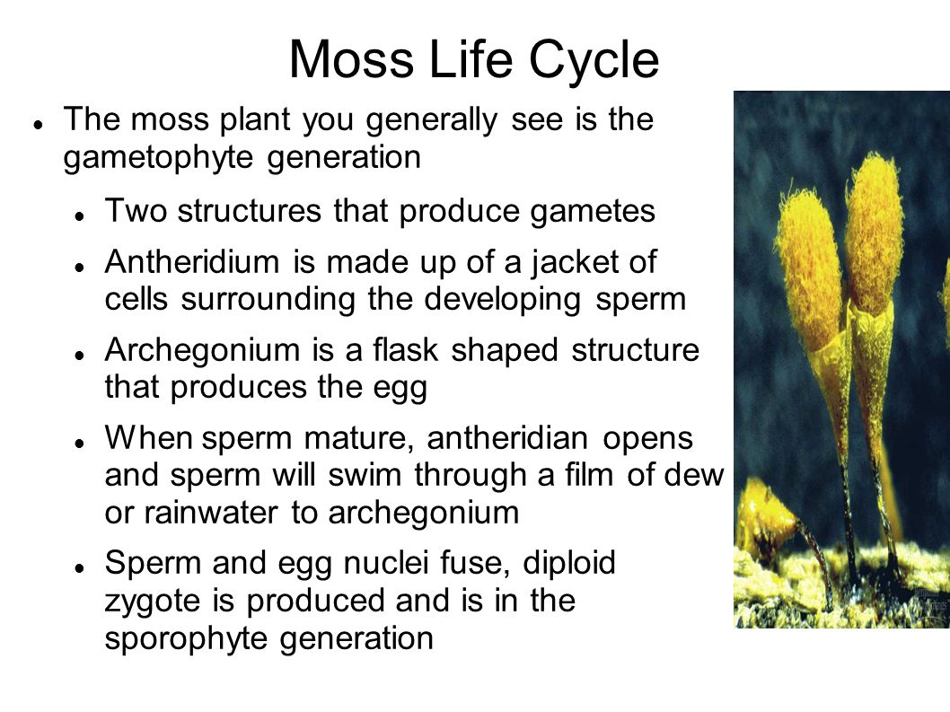 Moss Life Cycle The moss plant you generally see is the gametophyte generation. Two structures that produce gametes.