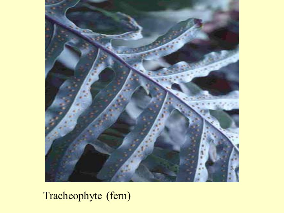 Tracheophyte (fern)