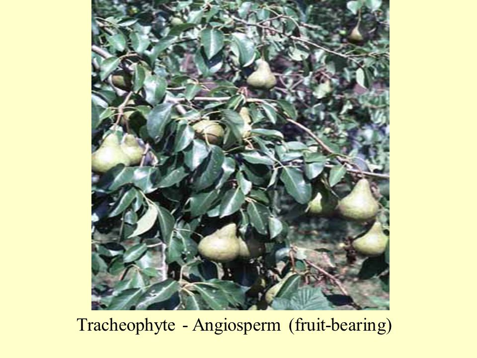 Tracheophyte - Angiosperm (fruit-bearing)