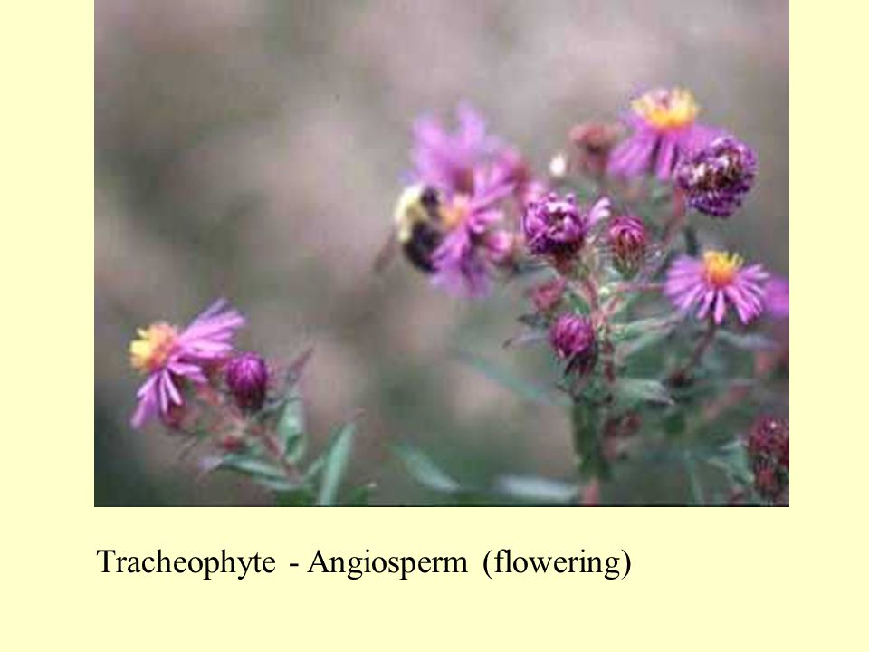 Tracheophyte - Angiosperm (flowering)