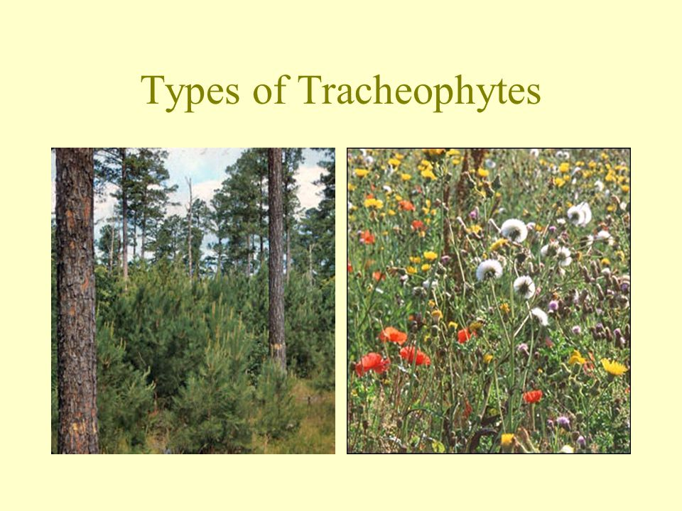 Types of Tracheophytes