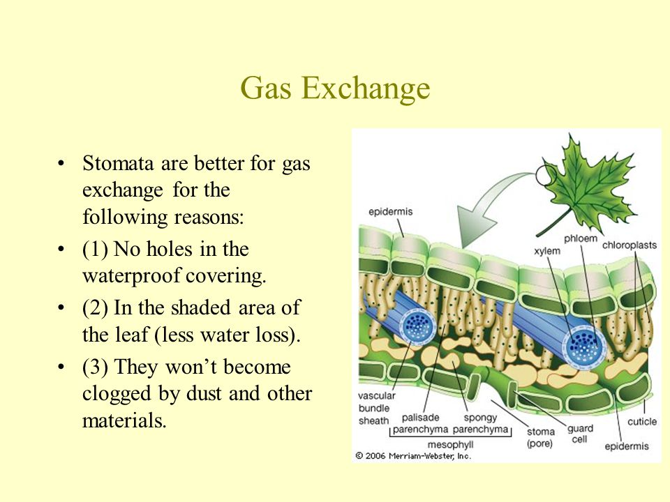 Gas Exchange Stomata are better for gas exchange for the following reasons: (1) No holes in the waterproof covering.