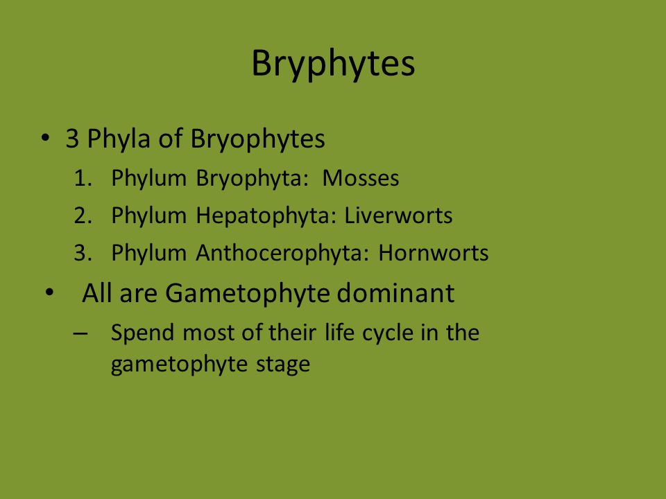 Bryphytes 3 Phyla of Bryophytes All are Gametophyte dominant