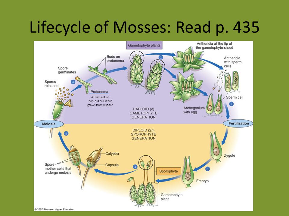 Lifecycle of Mosses: Read p. 435