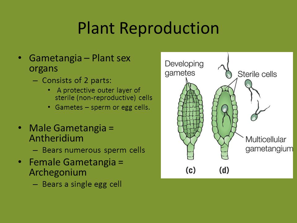 Plant Reproduction Gametangia – Plant sex organs