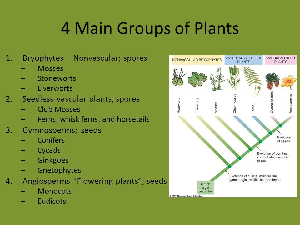 4 Main Groups of Plants Bryophytes – Nonvascular; spores