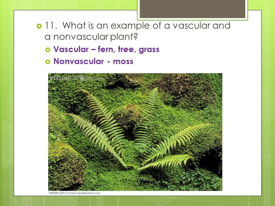 11. What is an example of a vascular and a nonvascular plant