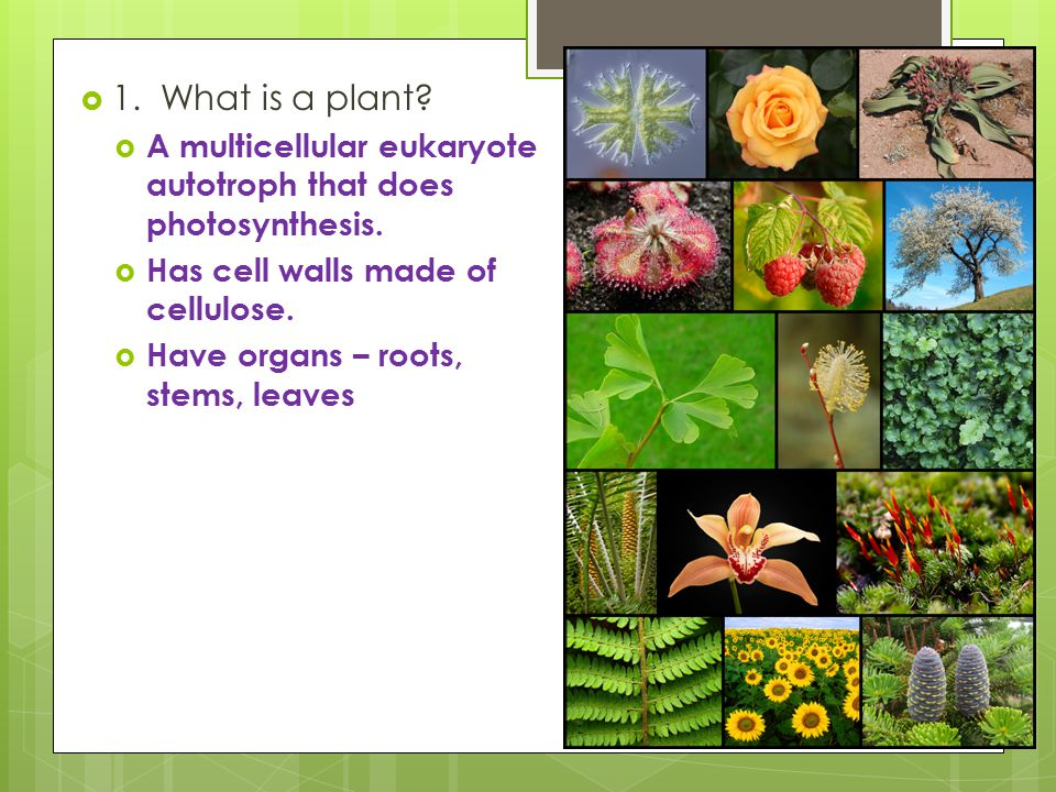 1. What is a plant A multicellular eukaryote autotroph that does photosynthesis. Has cell walls made of cellulose.