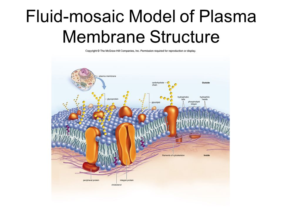 fluid mosaic model of plasma membrane Type your answer here the cell membrane which is the plasma membrane is called the fluid mosaic model because :the plasma membrane consists of both lipids and proteins the fundamental.