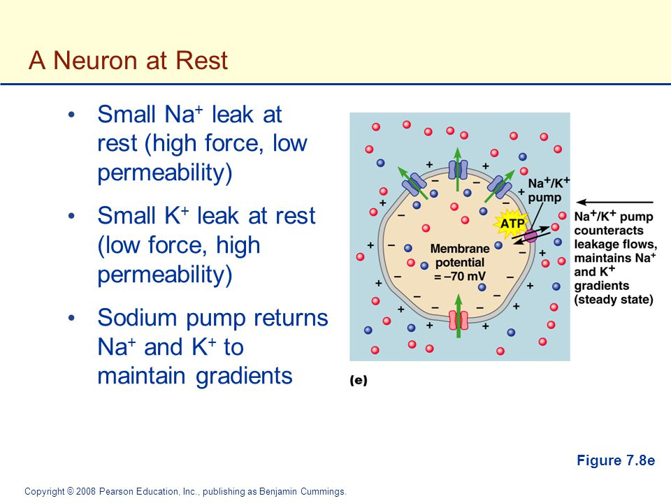 A Neuron at Rest Small Na+ leak at rest (high force, low permeability)