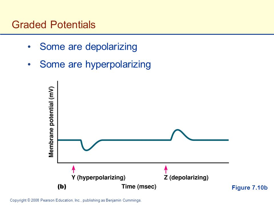 Graded Potentials Some are depolarizing Some are hyperpolarizing