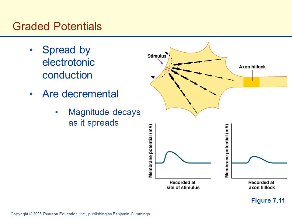 Graded Potentials Spread by electrotonic conduction Are decremental