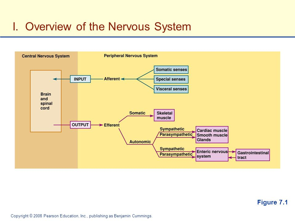 I. Overview of the Nervous System