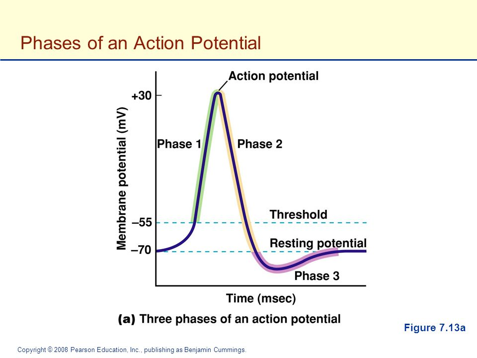 Phases of an Action Potential