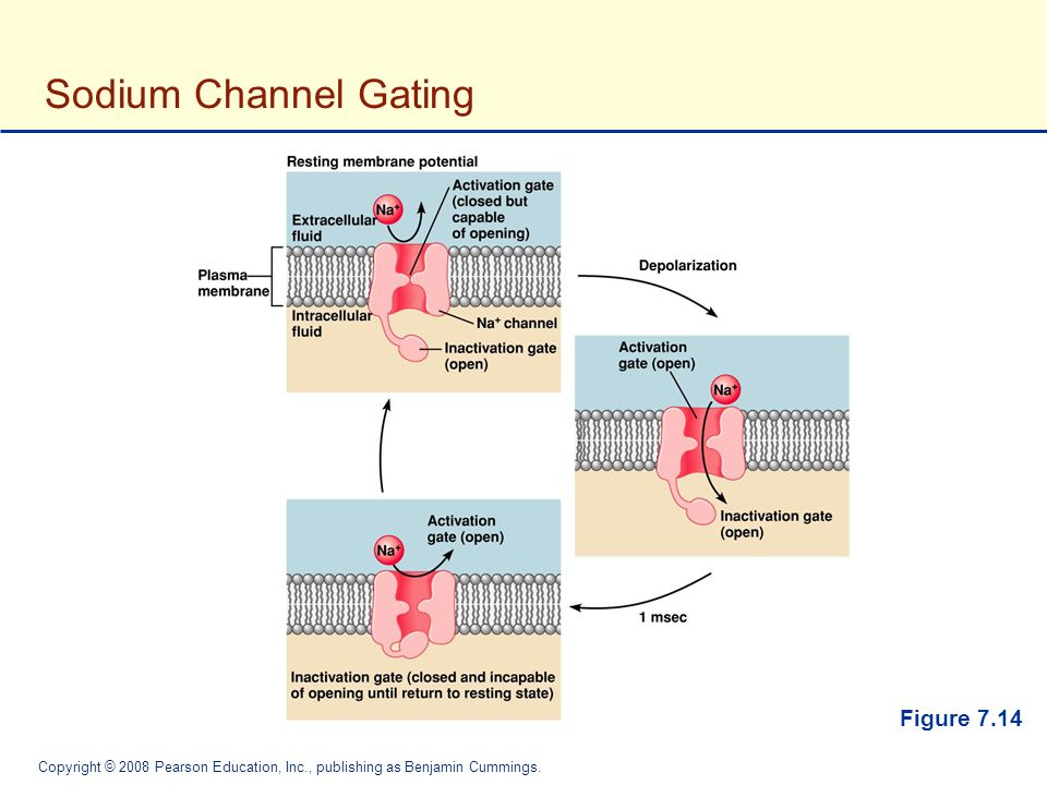 Sodium Channel Gating Figure 7.14
