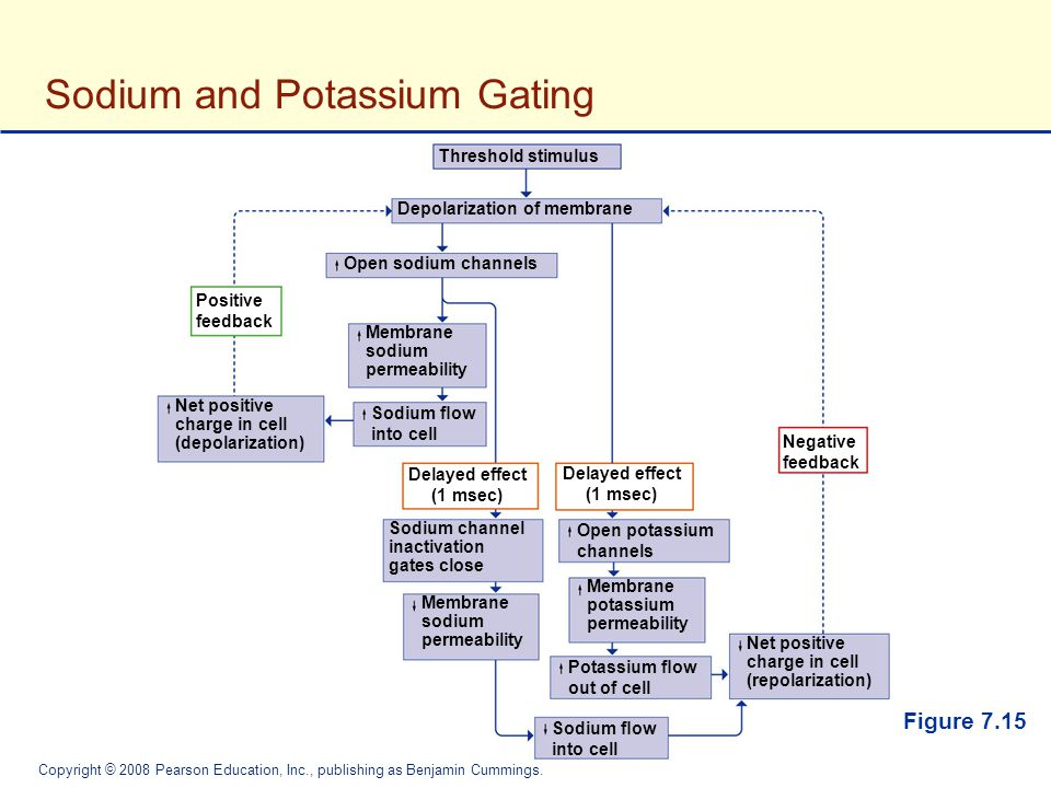 Sodium and Potassium Gating