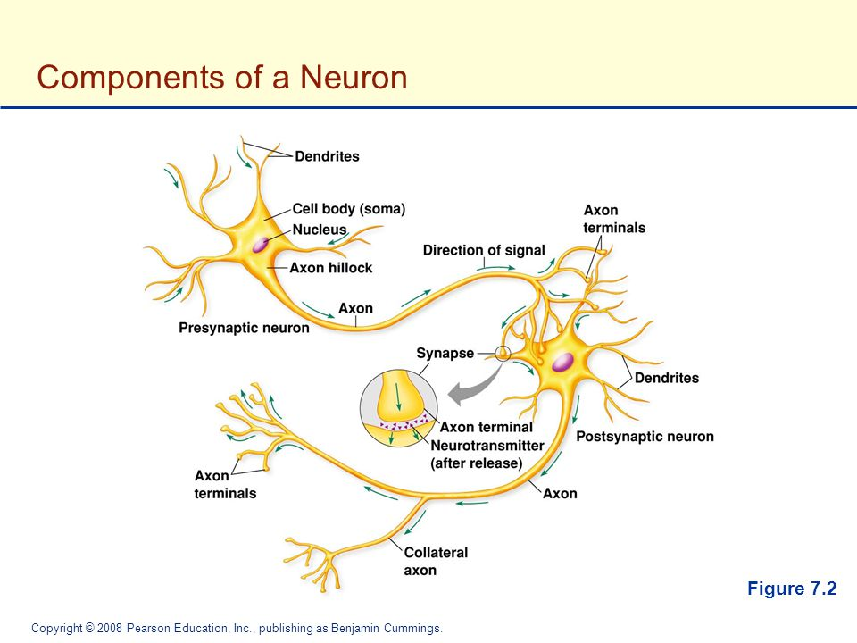 Components of a Neuron Figure 7.2