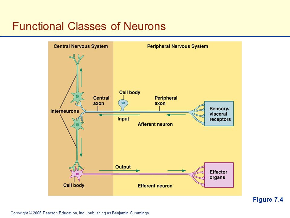 Functional Classes of Neurons