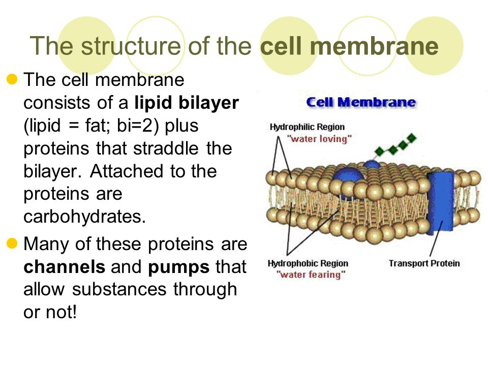 an analysis of the cell membrane in structures of the cell Cell membrane transport with a consideration of what 1 composition and structure of cell membranes analysis of membranes prepared by differential.