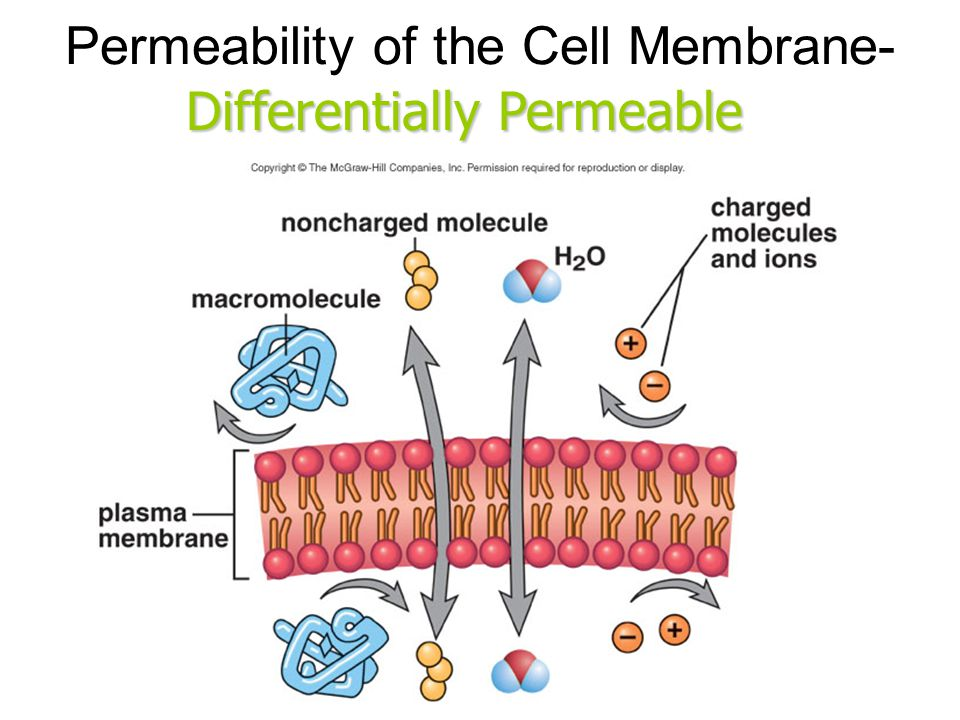 the cell membrane permeability Indeed, the permeability of lipid bilayer membranes to co 2 give values that are 001-1 cm/s (yes, permeability measurements have very high uncertainties among different labs, bnid 110004, 110617, 102624), higher than all other values shown in figure 1 this value shows that the barrier created by the cell membrane is actually less of an obstacle than the barrier caused by the unstirred layer of water engulfing the cell membrane from the outside.