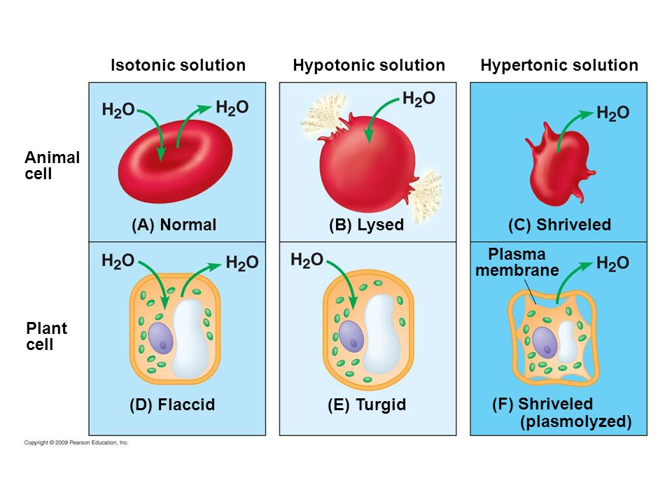 "tonicity osmosis Follow the tutorial for ""osmosis in an animal cell"" to solidify your concepts this figure sums up the basic concept of the effect of osmosis (water exchange) on cells due to their tonicity corresponding images of red blood cells are shown to illustrate what happens in real life."