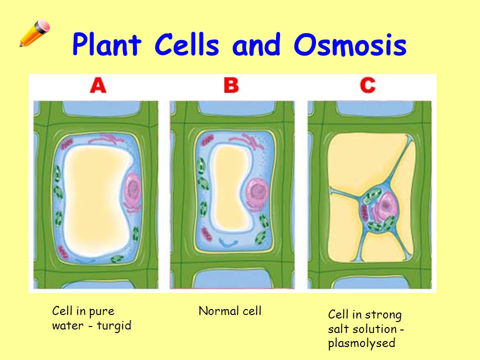 osmosis cell wall and water Osmosis and water the cell by osmosis water enters the cell in this case the situation is complicated by the presence of a rigid cell wall as water.