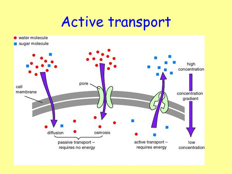 Passive Transport Diagram Labeled