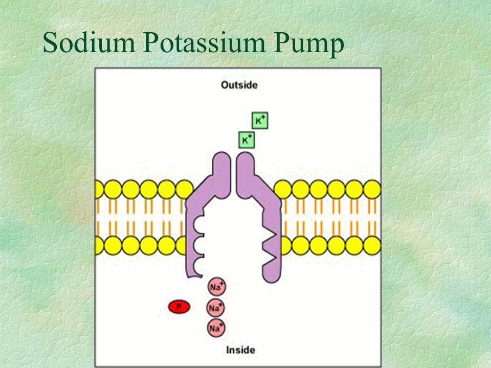 Pump The Sodium Potassium Pump