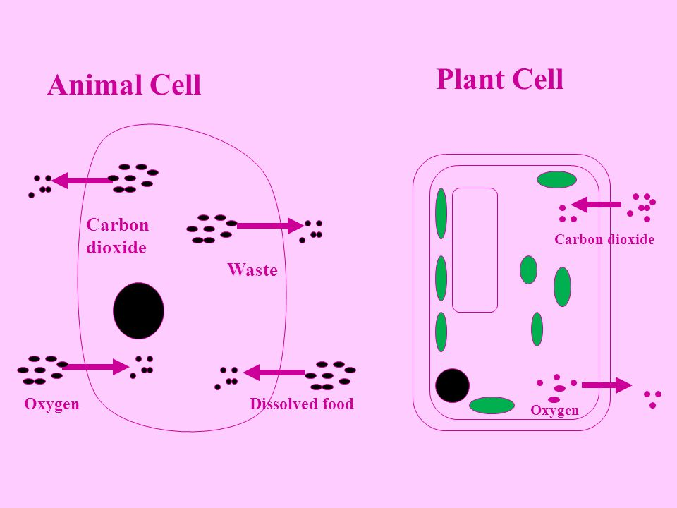 Plant Cell Animal Cell Carbon dioxide Waste Oxygen Dissolved food