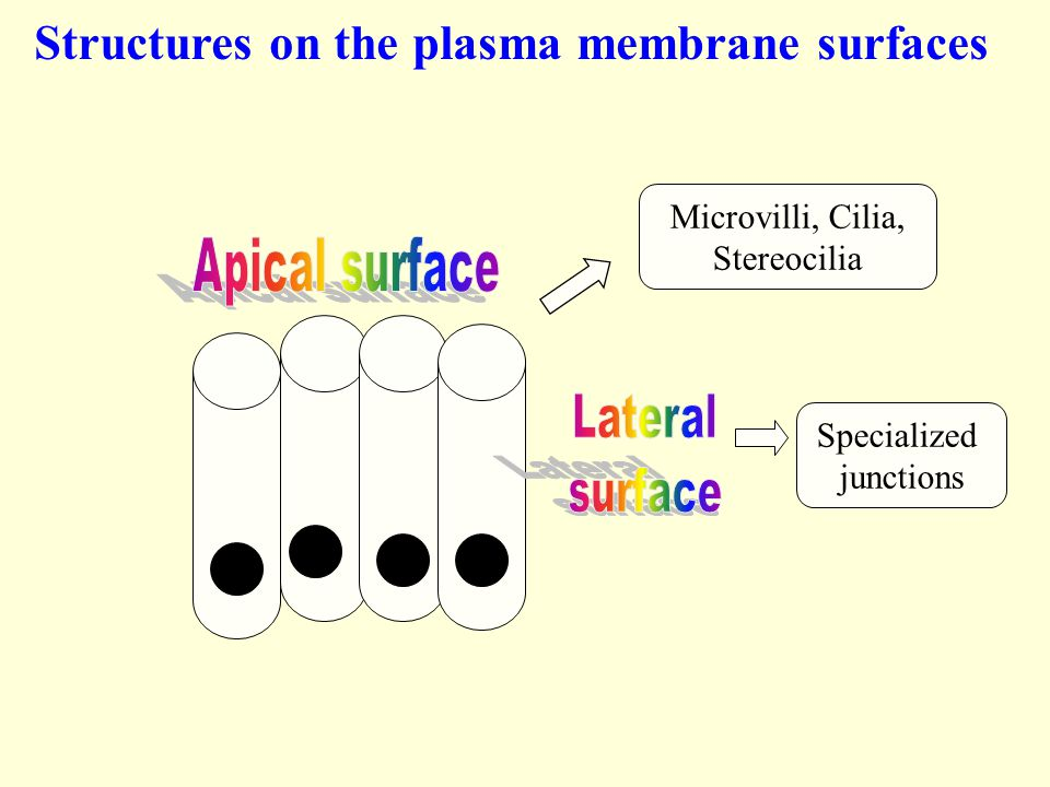 projections of the plasma membrane Synaptosomal-associated proteins (snaps), such as snap23, are involved in the process of membrane fusion in intracellular vesicle traffic (ravichandran et al, 1996.