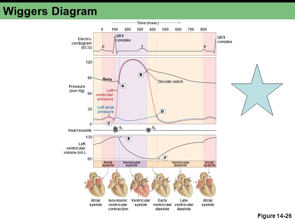 Cardiovascular physiology ppt video online download 18 wiggers diagram ccuart Gallery