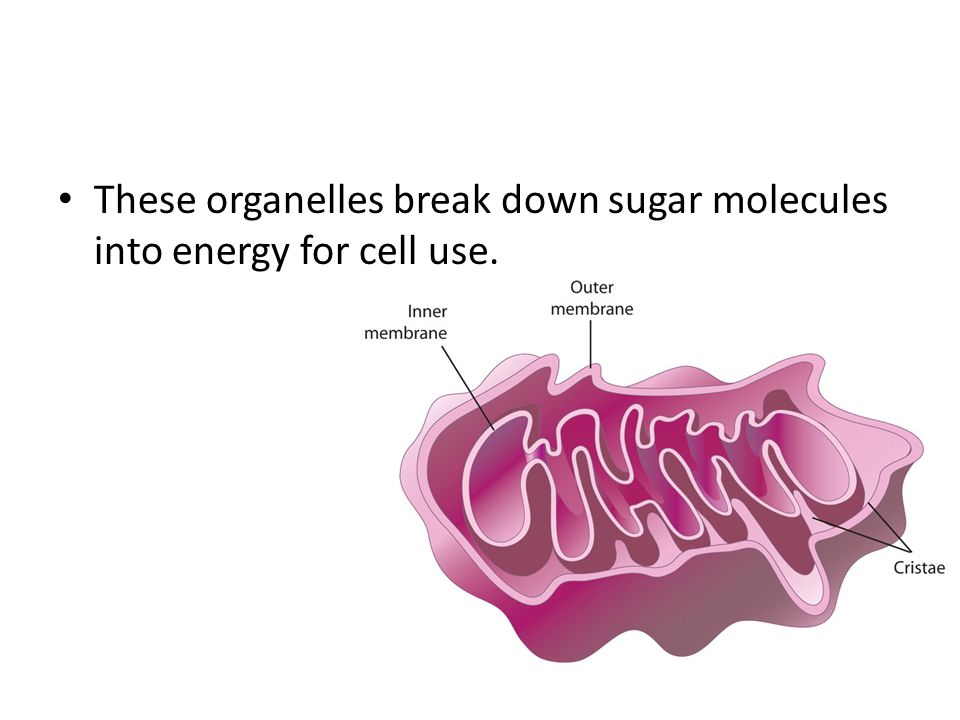 These organelles break down sugar molecules into energy for cell use.