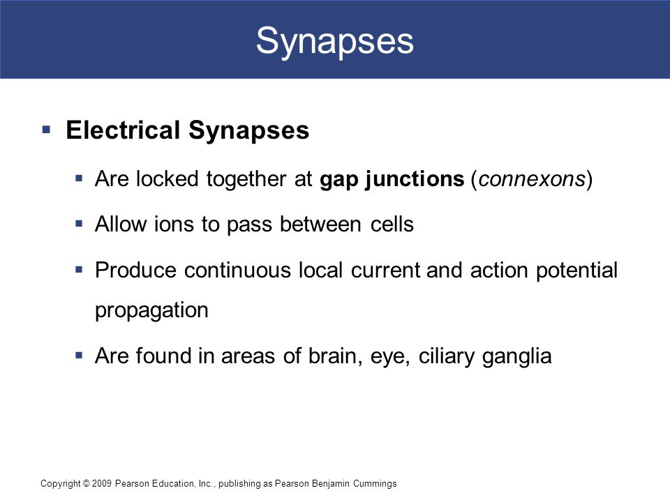 Synapses Electrical Synapses