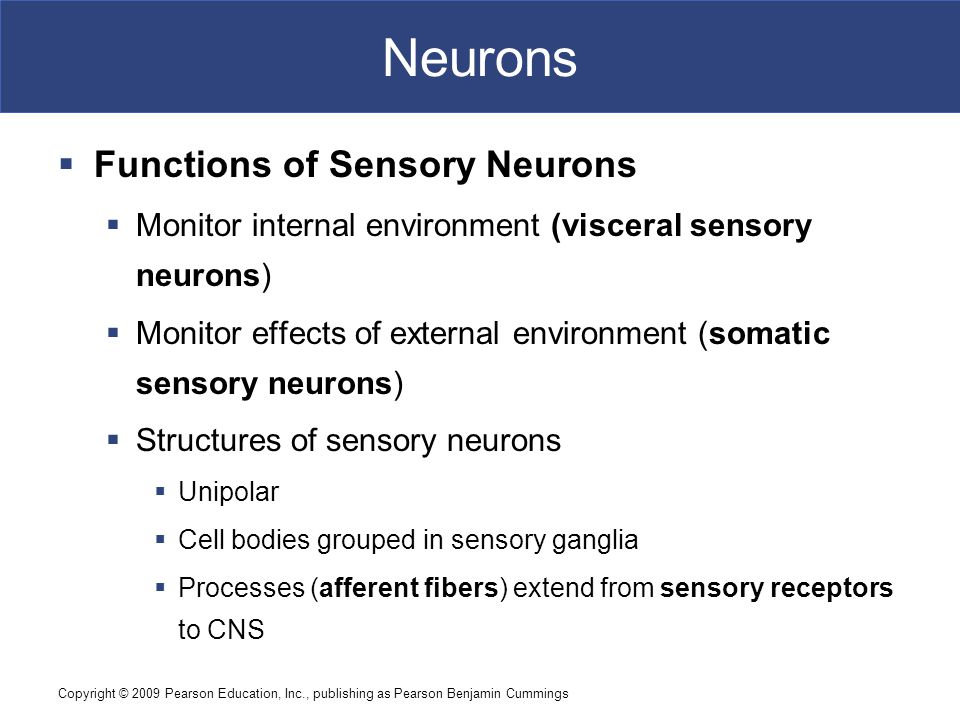 Neurons Functions of Sensory Neurons