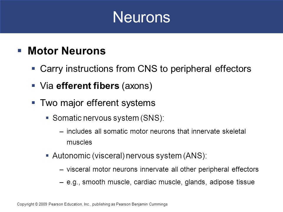 Neurons Motor Neurons. Carry instructions from CNS to peripheral effectors. Via efferent fibers (axons)