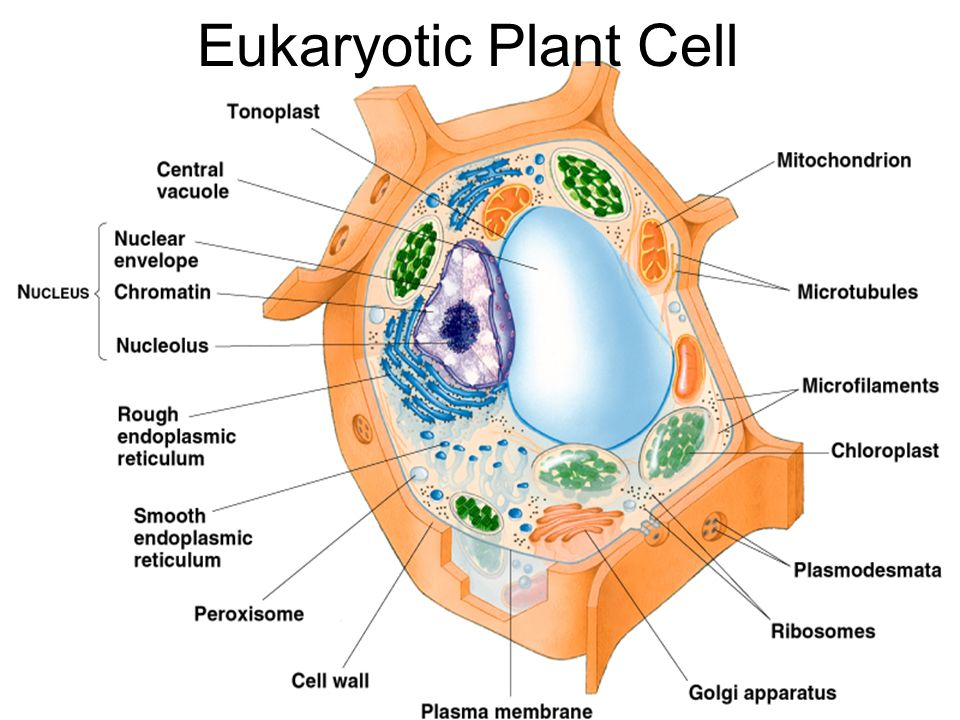 Eukaryotic Plant Cell Typical Plant Cell