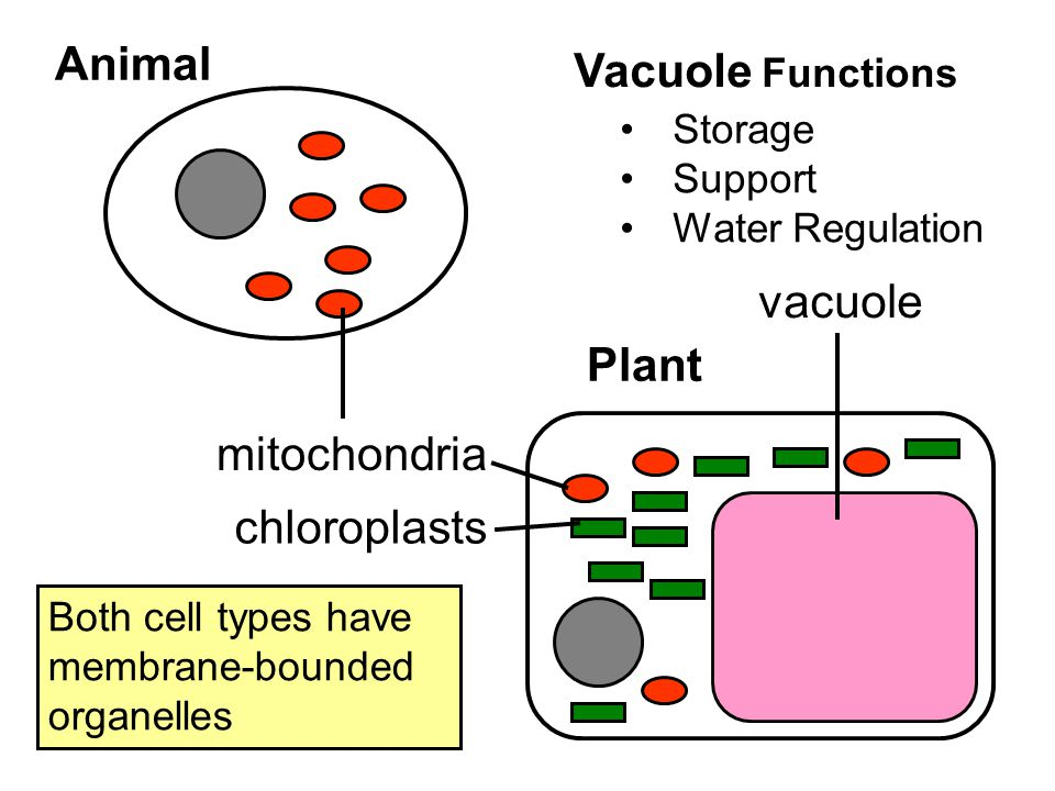 Animal Vacuole Functions vacuole Plant mitochondria chloroplasts