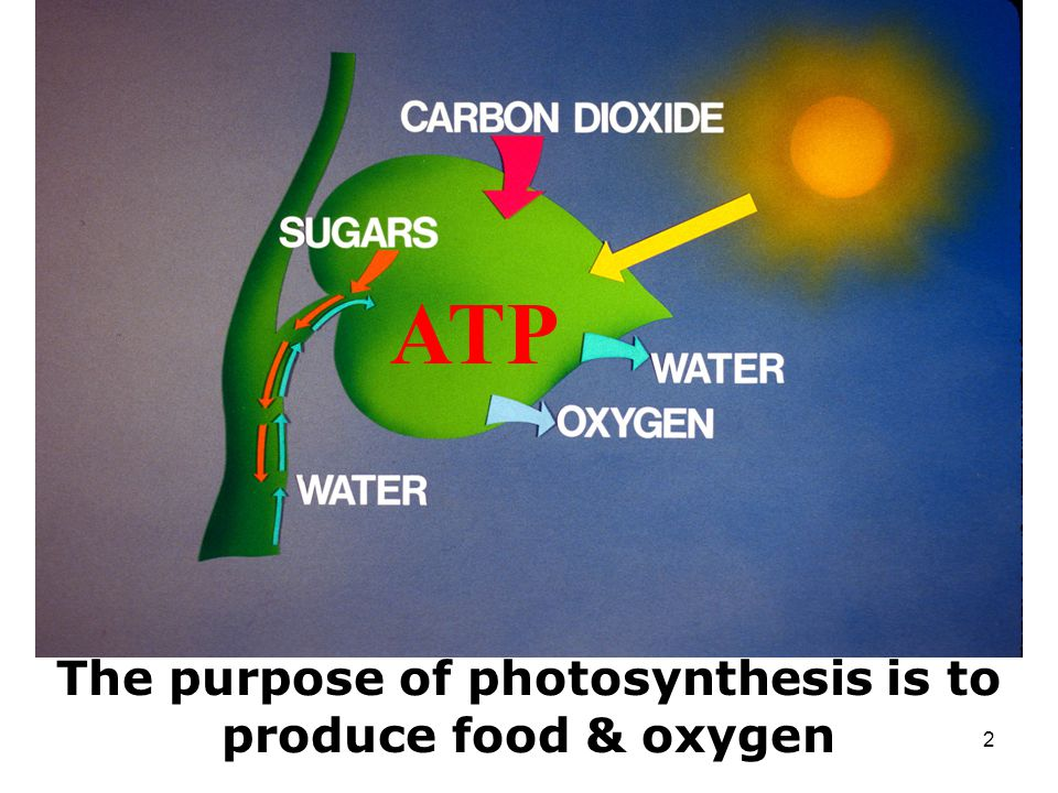 What is the purpose of photosynthesis?