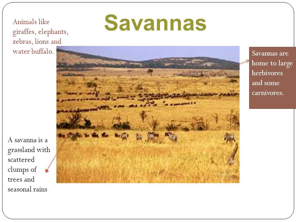 Savannas Animals like giraffes, elephants, zebras, lions and water buffalo. Savannas are home to large herbivores and some carnivores.