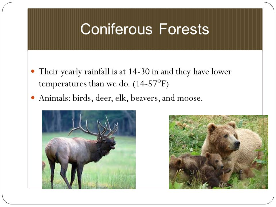 Coniferous Forests Their yearly rainfall is at in and they have lower temperatures than we do. (14-57°F)