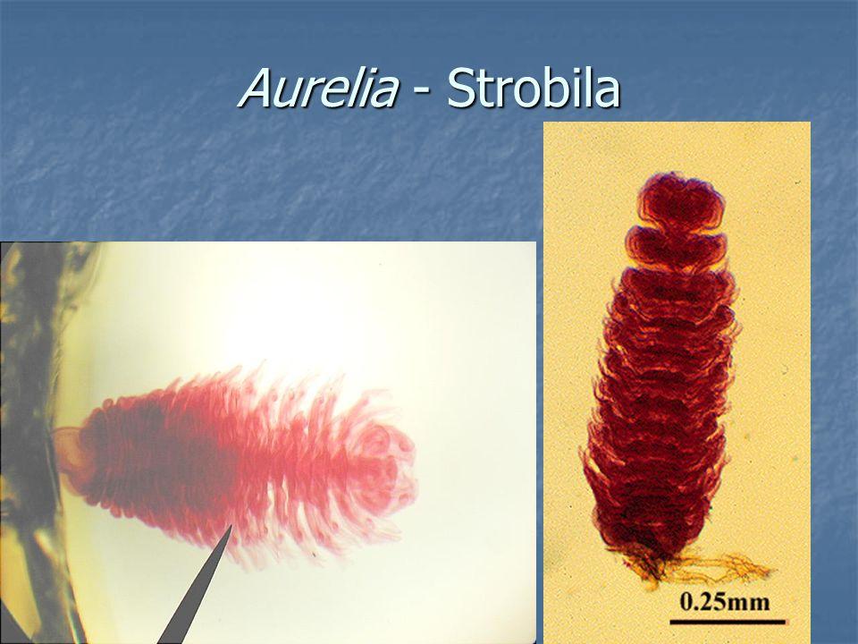 Aurelia strobila