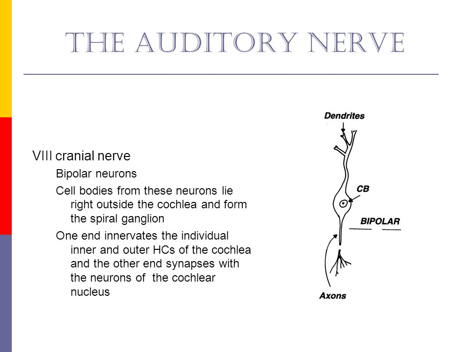 The auditory nerve VIII cranial nerve Bipolar neurons