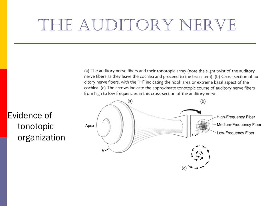 The auditory nerve Evidence of tonotopic organization