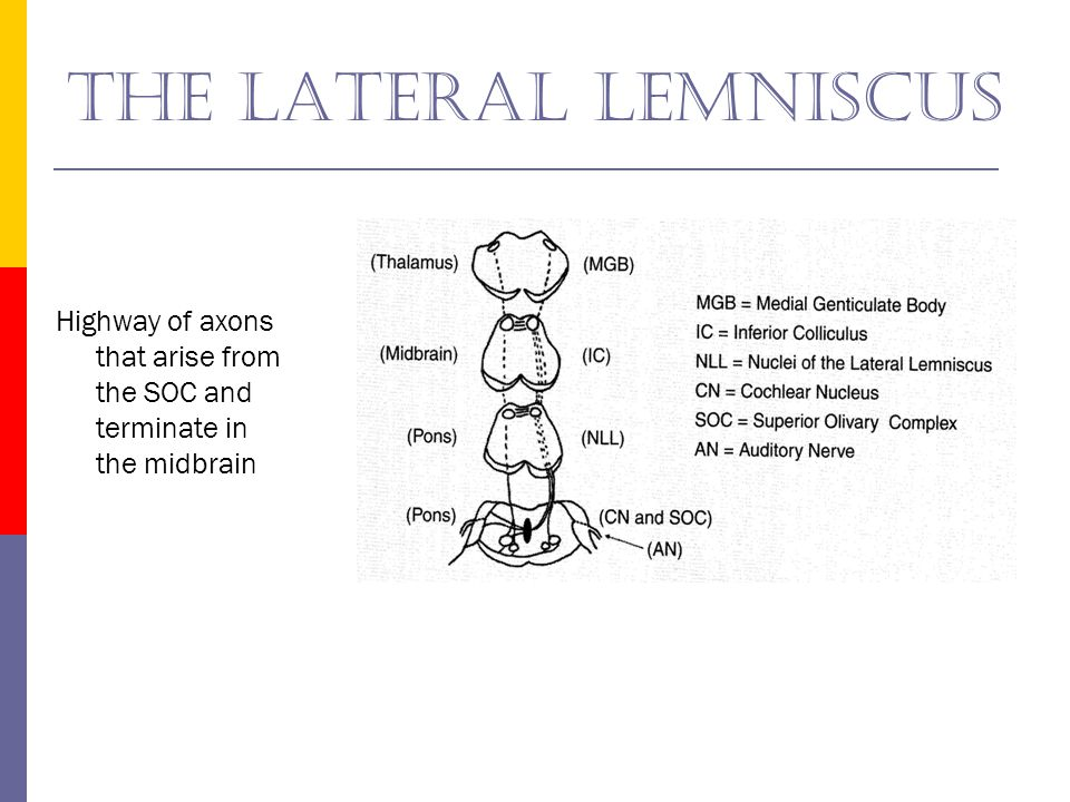The lateral lemniscus Highway of axons that arise from the SOC and terminate in the midbrain.