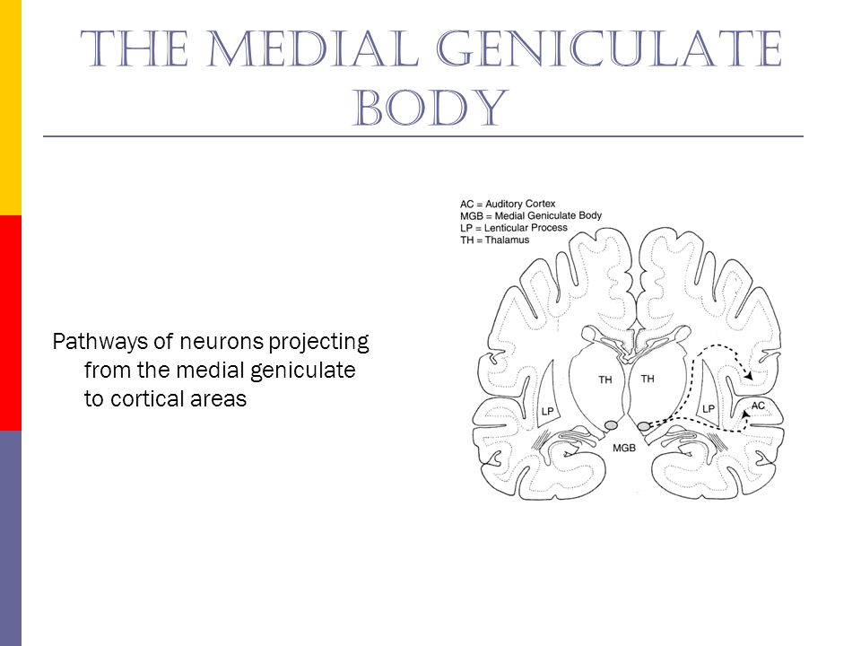 The medial geniculate body