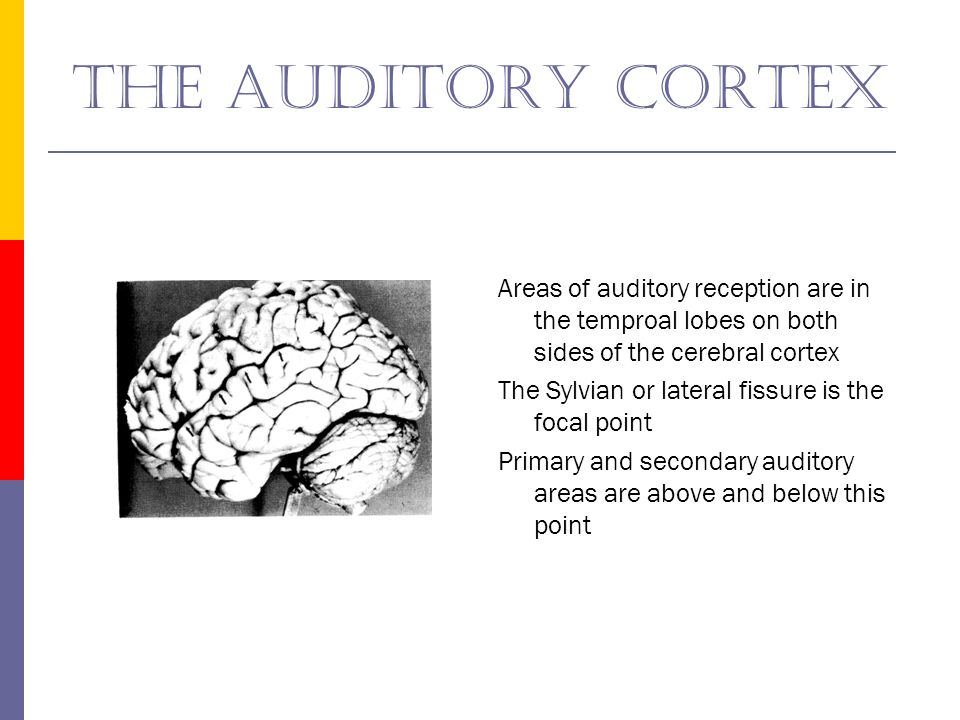 The auditory cortex Areas of auditory reception are in the temproal lobes on both sides of the cerebral cortex.