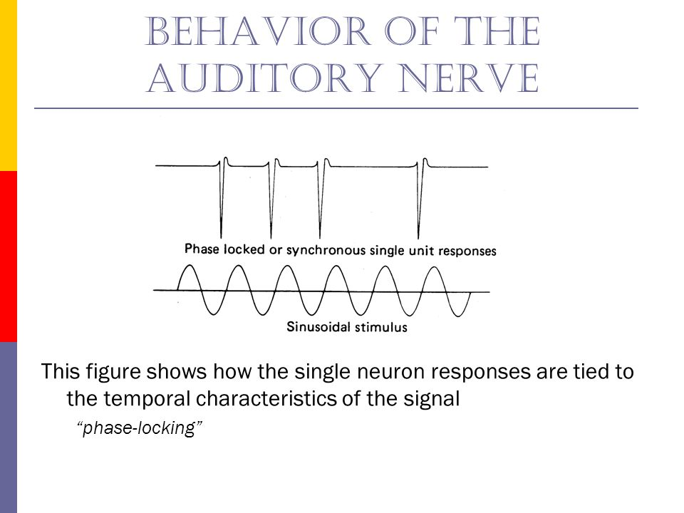 Behavior of the auditory nerve