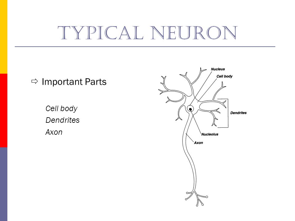 Typical neuron Important Parts Cell body Dendrites Axon
